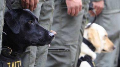 ستقوم-حكومة-المملكة-المتحدة-بمساعدة-dogs-في-الحرب-مع-كورونا-؛-بدأت-المحاكمة-؛-خصص-الصندوق-5-مليون-جنيه-استرليني