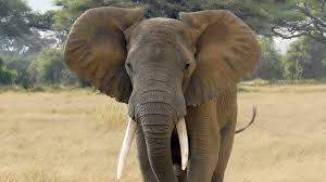 حيث-توجد-الفيلة-أكثر-من-غيرها-،-هناك-350-حالة-وفاة-غامضة