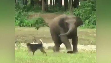 ينتشر-هذا-الفيل-والكلب-اللطيفان-،-شاهد-الفيديو