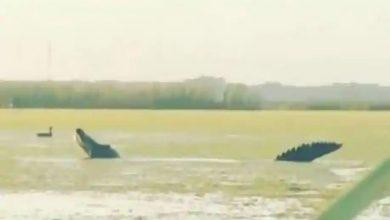 يظهر-التمساح-بحجم-الديناصورات-في-فلوريدا-،-فيديو-فيروسي