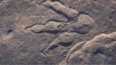 حدث-فريد-من-نوعه-لعام-2021!-اكتشفت-فتاة-تبلغ-من-العمر-أربعة-أعوام-آثار-أقدام-ديناصور-عمرها-22-مليون-عام-،-ولا-تزال-آمنة