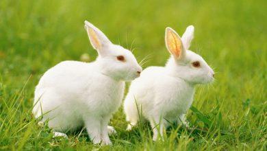 الأرانب:-يأكل-الأرنب-النونية-الخاصة-به-للحفاظ-على-الجمال-،-ومعرفة-الأشياء-الممتعة-المتعلقة-بها