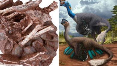 ديناصور:-ديناصور-وجد-في-عش-مليء-بالبيض-مع-وجود-أطفال-بداخله.-صدم-العالم