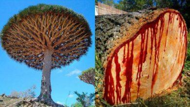 شجرة-دم-التنين:-من-دواء-إلى-رمز-لشجرة-دم-التنين-اليمنية-دوا-،-خبراء-معنيون