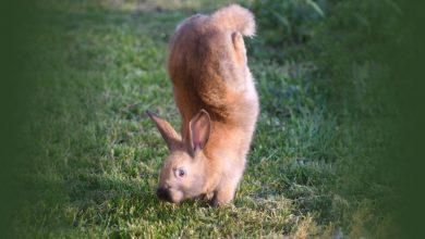 أرانب-الفورت:-هذه-الأرانب-لا-تمشي-على-الأقدام-،-تقفز-على-اليدين-؛-العلماء-يحلون-80-عاما-من-الغموض