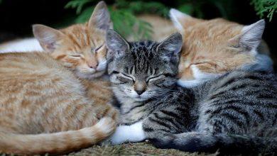 covid-19:-انتقال-فيروس-كورونا-من-البشر-إلى-القطط-،-دراسة-كشفت