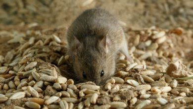 """أعلنت-الحكومة-أن-الفئران-أصبحت-""""كارثة""""-لأستراليا-وسط-كورونا"""