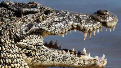 أكبر-بحث-على-أنواع-منقرضة-من-crocodile-عمرها-مليون-عام-،-ادعاء-صادم-في-البحث