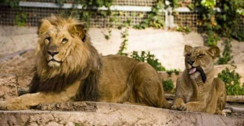 سريلانكا:-أسد-مصاب-بكورونا-ومسؤولو-حديقة-الحيوان-طلبوا-المساعدة-من-الهند