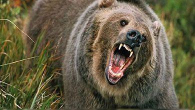 قتل-الدب-وأكل-سائحة-أمام-3-من-أصدقائه-،-في-حادثة-سيبيريا-بروسيا
