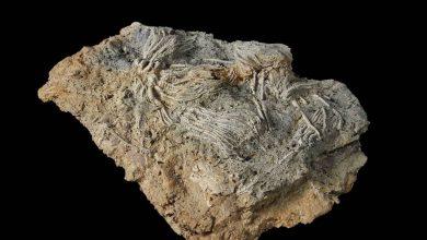 تم-العثور-على-حفريات-مخلوقات-بحرية-شبيهة-بالكائنات-الفضائية-في-بريطانيا-،-قبل-ملايين-السنين-في-كارثة-غامضة