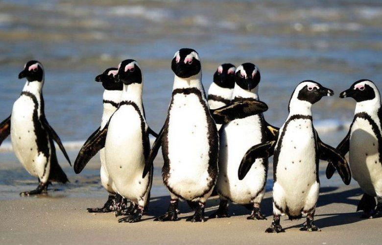 طيور-البطريق-في-جنوب-إفريقيا:-قتل-النحل-64-بطريقًا؟-حادثة-غريبة-ستفاجئ