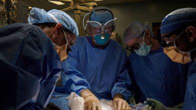 زرع-كلى-الخنازير:-الآن-ستنقذ-كلية-الخنازير-حياة-المرضى-،-كانت-أول-عملية-جراحية-في-العالم-ناجحة