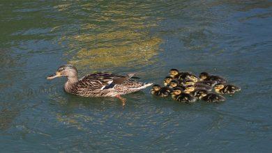بعد-كل-شيء-،-لماذا-يسبح-صغار-البط-دائمًا-بعد-أمهم؟-جاء-هذا-الشيء-في-البحث